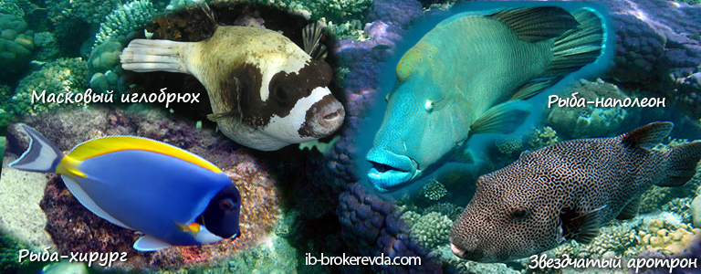 Рыба-хирург и Рыба-наполеон